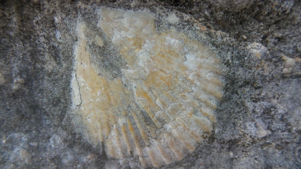 Okamina školjke iz Trebižata - Čapljina